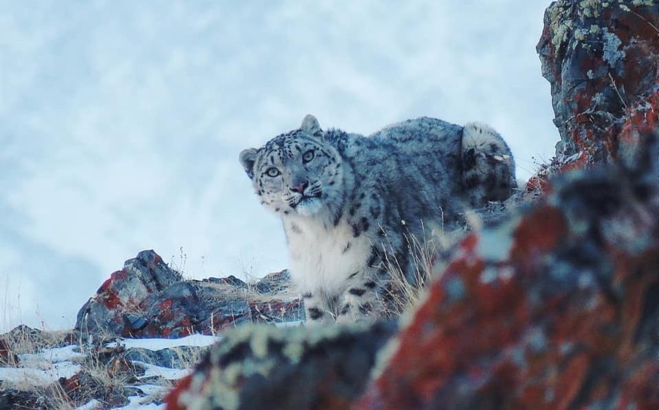 En Rusia, captan a leopardo casi en peligro de extinción