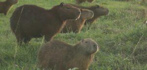 Decenas de capibaras invaden un club de golf en Bolivia debido a la cuarentena