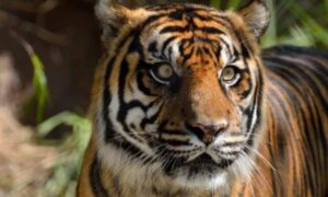 Un tigre da positivo a coronavirus en un zoológico de NY