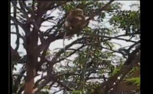 Monos roban muestras de sangre de pacientes con covid-19 en la India