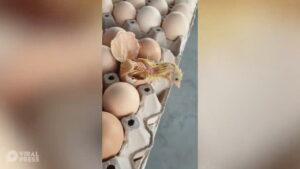 Un pollito nace de un huevo que estaba a la venta en tienda de Tailandia