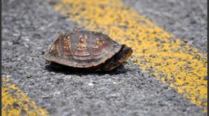 """Tortuga sale """"volando"""" y se estrella contra el parabrisas de un auto en EU"""