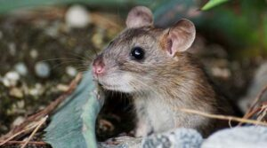 Investigadores rusos detectan rara especie de hantavirus transmitido por roedores