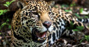 Construcción del Tren Maya podría poner en riesgo a jaguares