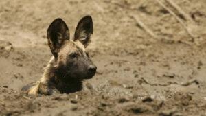 Perro salvaje se hace el muerto para escapar de varios leones en África