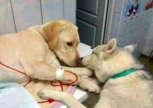 El tierno perro que sirve de asistente a un veterinario para tranquilizar a mascotas