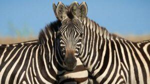 ¿Cuál de las dos cebras mira al frente?: el nuevo reto visual que circula en redes