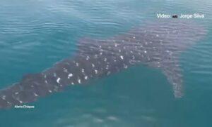 Captan a delfines y tiburón ballena jugando en Puerto Arista, Chiapas