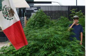 Crecen plantas de marihuana frente a la Cámara de Senadores