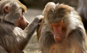 Estudio afirma que los simios y los humanos tienen formas de pensar similares