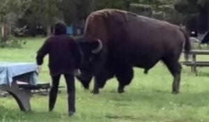 Bisonte ataca a una mujer luego de que ella se le acercara para tomarse una foto