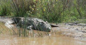 Joven se mete a un río, animado por un sacerdote, y muere al ser atacado por un cocodrilo