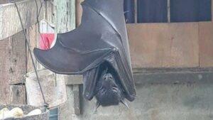 El murciélago gigante sí existe pero no es tan grande como parece