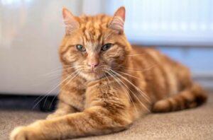 Un gato recorre 64 kilómetros para regresar a la casa de sus antiguos dueños